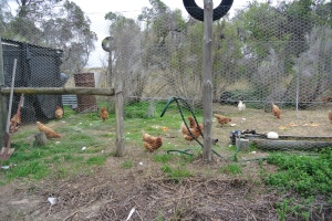 Chook pen following the rain
