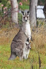 Australian Kangaroo & Joey
