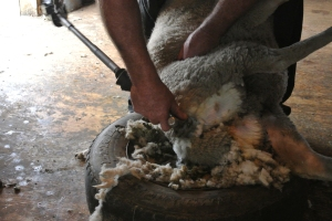 Shearing sheep - no cuts here