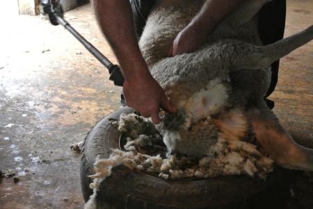 Shearing sheep - no cuts here