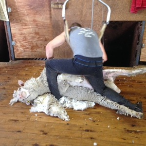 Shearing the Ram