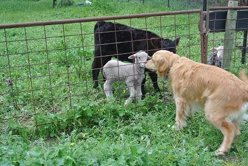 goldie-meets-lambs-14-09-2016